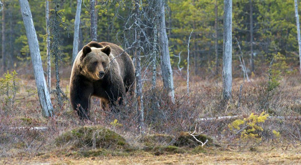 Pe data de 2 februarie a fiecărui an se sărbătoreșteziua Ursului, Stretenia sau Întâmpinarea Domnului