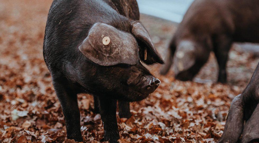 Tăiatul porcului sau Ignatul se sărbătorește în fiecare an pe 20 decembrie.
